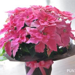 PRINCETTIA プリンセチア ローザ