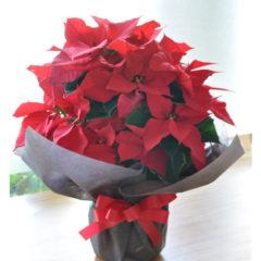 Poinsettia ポインセチア
